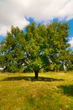 Wonderful alone large oak tree by autumn. Stock Image