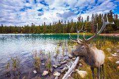 Wonderful antlered deer on cold lake Stock Image