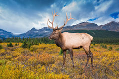 Wonderful antlered deer Stock Photography