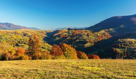 Wonderful autumn afternoon in mountains. Beautiful countryside landscape with trees in red foliage on rolling hills. rural area of carpathians. ridge in the royalty free stock photo