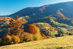 Wonderful autumn afternoon in mountains. Beautiful countryside scenery with trees in red foliage on the hills; rural area of carpathians. clear blue sky royalty free stock photography