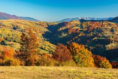 Wonderful autumn afternoon in mountains. Beautiful countryside scenery with trees in red foliage on the meadow. rural area of carpathians. ridge in the royalty free stock photo