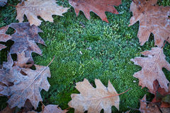Wonderful autumn oak leaves and moss covered with white frost Royalty Free Stock Photos