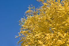 Wonderful autumn - yellow leaves of tree Royalty Free Stock Photography