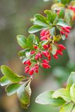 Wonderful barberry. Nbeautiful fruit of the barberry on the branch Stock Image