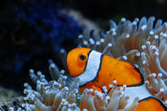 Wonderful and beautiful underwater world with corals and tropical fish. Photo of a tropical Fish on a coral reef. Underwater royalty free stock image
