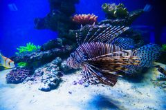 Wonderful and beautiful underwater world with corals and tropical fish. Reef, sea, ocean, aquarium, marine, nature, life, animal, wildlife, red, blue, exotic royalty free stock images