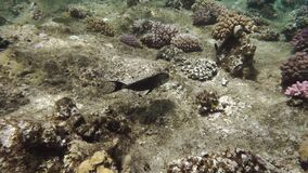 Wonderful underwater world of coral reef. Freediving is a sport when a person dives into sea water while holding his