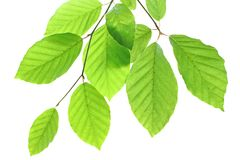 Wonderful Beech leaves isolated on white background. Wonderful Beech leaves isolated on white background, Germany royalty free stock photography