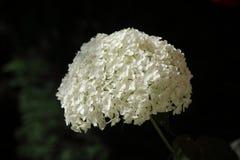 Wonderful big hortenisa on dark background Royalty Free Stock Photography