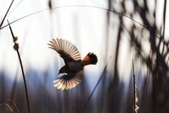 Wonderful bird in an incredible flight. Wild birds, animals in the biotope Stock Image