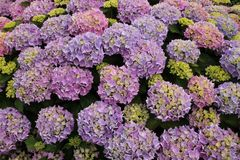 Blooming hydrangea in different colours in the garden in the summer. Wonderful blooming hydrangea in different colours in the nice home garden in England on a stock photo