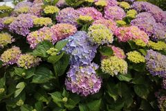 Blooming hydrangea in different colours in the garden in the summer. stock image