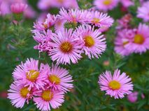 Blooms from pink asters in autumn Stock Images