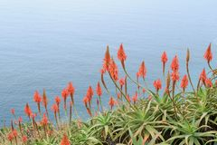 Wonderful blossom of the agave. On a hill with the deep blue ocean in the background Stock Photography
