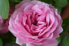 Wonderful blossom of a pink rose Stock Image