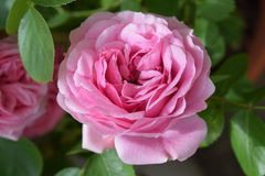 Wonderful blossom of a pink rose Royalty Free Stock Photos