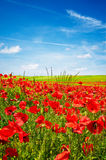 Wonderful Blue Sky And Splendid Field Of Poppies. Stock Images