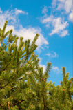 Wonderful  blue sky and pine tree. Stock Photos
