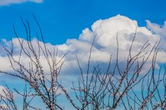 Wonderful blue sky with white clouds and the branches of a tree with flower buds. Wonderful and sunny day in Brunssummerheide in south Limburg in the stock image