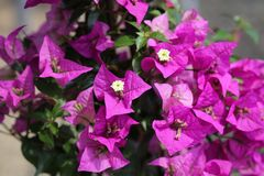 Wonderful Bougainvillea - Bougainvillea Glabra Stock Image