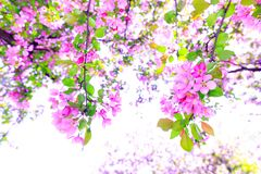 Wonderful branch of violet cherry blossom during spring season. Tree of apple blossoms in stunning sunny day. Beautiful pink royalty free stock images