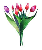 Wonderful bright refined bouquet of tulips red pink and purple flowers watercolor hand sketch Royalty Free Stock Image