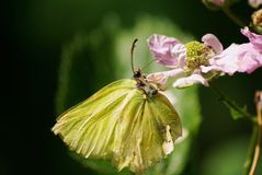Wonderful Brimstone Butterfly Royalty Free Stock Photography