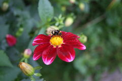 Wonderful bumble-bee sitting on bright flower. Bumble-bee sitting on pink-red flower, October Stock Photo