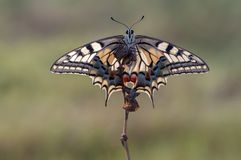 Wonderful butterfly Papilio machaon spread its wings on a summer day. Papilio Machaon is a Papilionidae butterfly. The butterfly is also known as the common royalty free stock photos