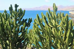 A wonderful cactus called Euphorbia canariensis. Lanzarote, spain. A wonderful cactus called Euphorbia canariensis. Near the harbor of the town Puerto del stock images