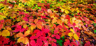 Wonderful carpet of  autumn foliage. Stock Photography