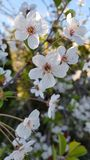 Wonderful Cherry blossom. White, wonderful, evening cherry blossom in the garden of the spring royalty free stock photos