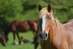 Wonderful close-up photo of light brown horse with other horses in the background Royalty Free Stock Photos