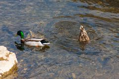 Duck diving spring day. Wonderful colors of duck diving in clear water of river in daylight of spring Royalty Free Stock Image