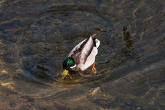 Duck diving spring day. Wonderful colors of duck diving in clear water of river in daylight of spring Royalty Free Stock Photo