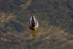 Duck diving spring day. Wonderful colors of duck diving in clear water of river in daylight of spring Royalty Free Stock Photos