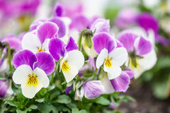 Wonderful colors of the flowers of pansies Royalty Free Stock Photo