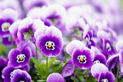 Wonderful colors of the flowers of pansies Royalty Free Stock Images