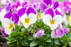 Wonderful colors of the flowers of pansies Royalty Free Stock Photos