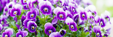 Wonderful colors of the flowers of pansies Stock Images