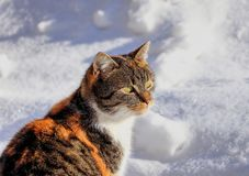 A wonderful colourful cat face. She is watching some actions on the garden. Contrast dark and color cat with white snow.  royalty free stock photos