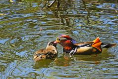 Wonderful couple. A couple of mandarin ducks royalty free stock photos