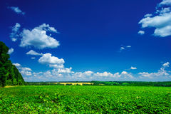 Wonderful cultivated soy field by early summer. Royalty Free Stock Photo