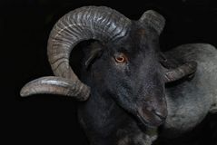 Wonderful dark aries Royalty Free Stock Image