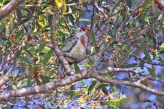 Wonderful dove in Fiji islands Royalty Free Stock Image