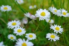 Wonderful dreamlike daisies meadow in spring. Wonderful dreamlike daisies meadow in spring, Germany Stock Photos