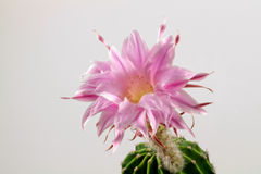 Wonderful Echinopsis. Macro of a blooming Echinopsis in front of a white background Stock Image