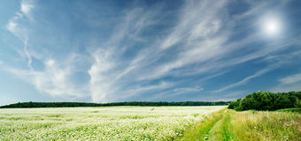 The wonderful field of buckwheat before the rain. Royalty Free Stock Images