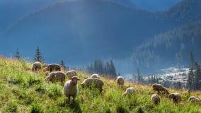 Wonderful flock of sheep grazing at dawn, Tatra Mountains Royalty Free Stock Image